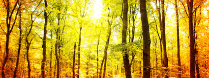 Autumn forest with sun beam. Royalty Free Stock Photography