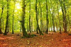 Autumn forest with sun beam. Stock Photo