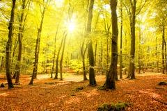 Autumn forest with sun beam. Stock Photos
