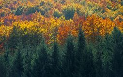Forest and trees with various autumn colors leaves. The top of the trees with various autumn colors leaves in Montenegro, october royalty free stock photography