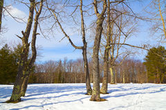 Forest trees in winter with footprints on snow. Stock Image