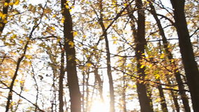 Forest trees with yellow leaves. To remove the bottom up stock footage
