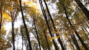 Forest trees with yellow leaves. To remove the bottom up stock video