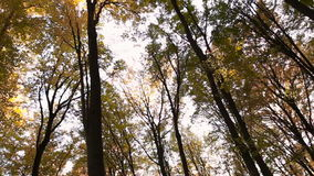 Forest trees with yellow leaves. To remove the bottom up stock video footage