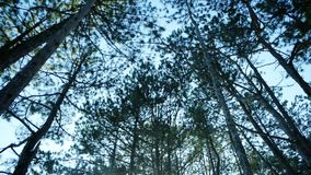 Forest, treetops in the forest, pine trees, spruce, pine against the blue sky in spring park with lots of trees. Sunny day stock video footage