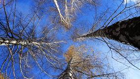 Forest Treetops.Yellow Leaves on a Tree in Autumn. Tops of Trees in the Autumn Forest. Rotation stock video footage