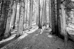 Forest in Trentino Alto Adige. Coniferous forest in Trentino Alto Adige royalty free stock photo