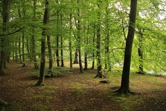 Forest with trunks of beeches in the park. Forest with trunks of beeches in the park in the beautiful spring Stock Photo