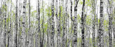 Forest with trunks of birch trees Royalty Free Stock Photography