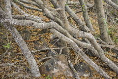 Forest Trunks at Ground. Forest big trunks at ground Galapgos Islands, Ecuador royalty free stock photo