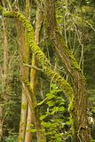 Forest trunks with moss. Tree trunks in a forest covered with moss, greenery around Stock Images