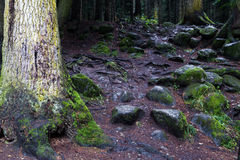 Forest trunks stones. Stones and tree trunks at the floor of dark fir forest Stock Photo