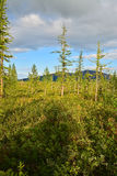 The forest tundra in summer. Royalty Free Stock Photos