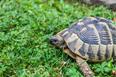 Forest turtle Royalty Free Stock Photo