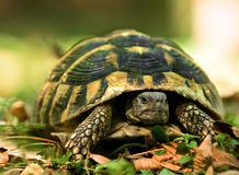 Forest turtle Stock Photography