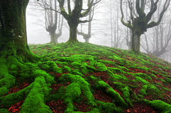 Forest with twisted roots and moss Stock Photography