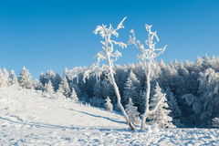 Forest under heavy snow Stock Image