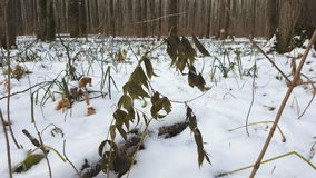 Forest under snow. First snow on green leaves stock video footage