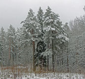 Forest under snow. January pine trees Royalty Free Stock Images