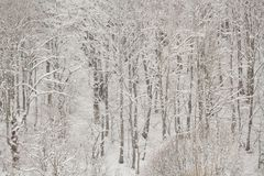 The forest under snow in the winter Royalty Free Stock Images