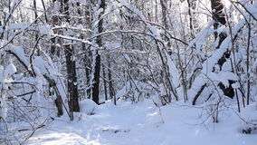 Forest under snowfall and blizzard. stock footage