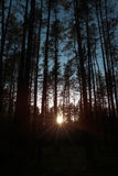 Forest under sunset sunbeam. Sun and trees Royalty Free Stock Image