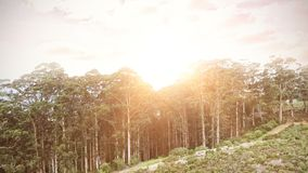 Forest Under Sunset Sunbeams image stock