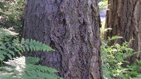 Fern and tree trunks in washington state forest. Forest undergrowth fern and tree trunks stock footage