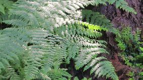 Tree trunks in washington state forest with fern. Forest undergrowth fern and tree trunks stock video