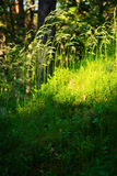 Forest undergrowth vegetation. Grass growing on herbaceous layer of understory or underbrush on forest glade. Royalty Free Stock Images