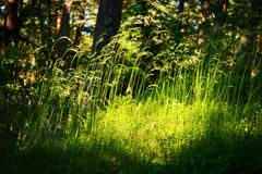 Forest undergrowth vegetation. Grass growing on herbaceous layer of understory or underbrush on forest glade. Stock Images