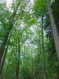 Forest. Upshot of tall trees in the middle of the forest royalty free stock photos
