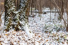 Forest of urban park covered with the first snow royalty free stock photography
