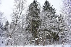The forest is very beautiful in winter. All trees put on fluffy white coats. Winter forest charms with its whiteness royalty free stock photography
