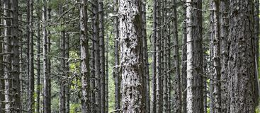 Forest of very high and extraordinarily parallel larches pines. In national park of sila in calabria region italy stock photos