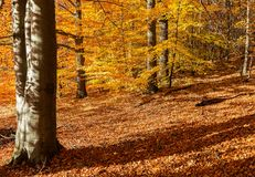 Forest with vibrant autumn colours. Royalty Free Stock Photos