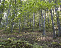 Forest. The view of Carpathian forest at sunny summer morning Royalty Free Stock Images