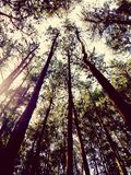 Forest view. Forest long trees Stock Photos
