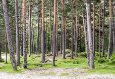 Forest of Vinuesa Royalty Free Stock Photos