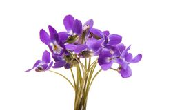 Forest violet isolated Royalty Free Stock Photo
