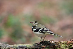 Forest Wagtail, Dendronanthus indicus Royalty Free Stock Images