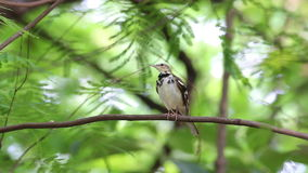 Forest Wagtail Dendronanthus indicus Birds of Thailand stock footage