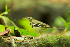 Forest Wagtail Royalty Free Stock Photography