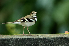 Forest wagtail Royalty Free Stock Photos