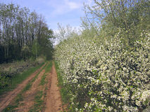 Forest walking road in the spring forest and flowering bushes wh Royalty Free Stock Images