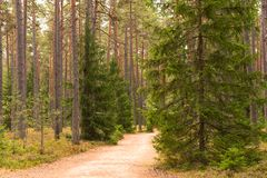 Forest walking road in Viru raba in the Lahemaa National Park in Estonia. royalty free stock image