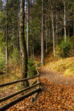 Forest walks in autumn Stock Image