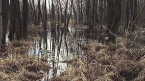 Forest and water spilling swamp in the spring, tree trunks nature in the water. Forest and water spilling swamp in spring, tree trunks nature in the water stock footage