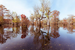 Forest wetland Merchants Millpond NC State Park US. Fall colors of Water Tupelo, Nyssa aquatica, and Cypress tree, Taxodium distichum, in Merchants Millpond Stock Images