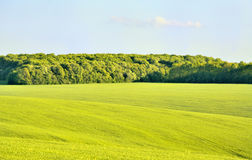 Forest in wheat field. Green forest in grean field of wheat Royalty Free Stock Images
